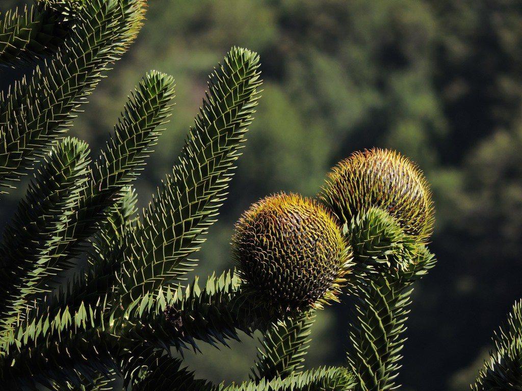 Declaración pública sobre situación de araucarias en el sur de Chile